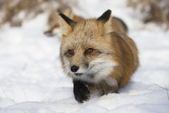 Running in snow. Red Fox running in snow on bright sunny day Royalty Free Stock Image
