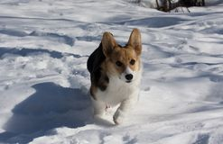 Running in the snow. Small puppy running oin snow Royalty Free Stock Image