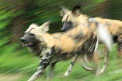 Running spotted dogs Royalty Free Stock Images