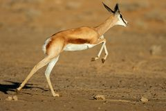 Running springbok antelope Royalty Free Stock Photography
