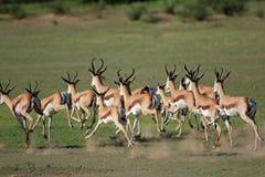 Running springbok antelopes Royalty Free Stock Photos