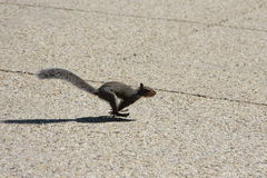 Running squirrel Stock Photos