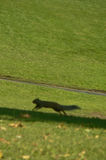 Running squirrel. On the grass stock photos