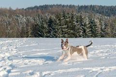 Running staffordshire bull terrier Royalty Free Stock Image