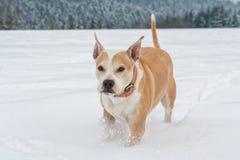 Running staffordshire bull terrier Royalty Free Stock Photo