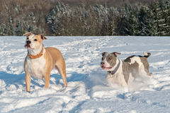 Running staffordshire bull terriers in a snow. Two running staffordshire bull terriers in a snow Stock Image