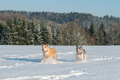 Running staffordshire bull terriers in a snow. Two running staffordshire bull terriers in a snow Royalty Free Stock Photography