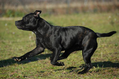 Running stafforsdshire bull terrier Stock Image