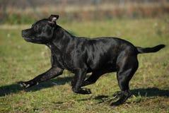 Running stafforsdshire bull terrier stock image