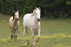 Running Stallions Royalty Free Stock Photos