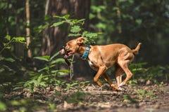 running stick för hund arkivfoton
