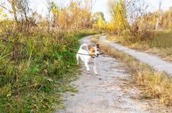 running stick för hund Skämtsam liten hund i höst arkivbilder