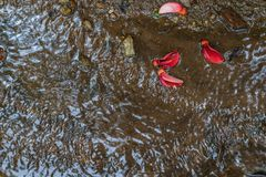 Running stream water. Small rippling running stream of rainforest mountain water with red wild flower petals stock photography