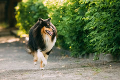 Running On Summer Road Tricolor Scottish Rough Long-Haired English Collie, Lassie Adult Dog. The Running Tricolor Rough Collie, Scottish Collie, Long-Haired Stock Photos