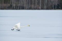 Running swan Stock Photo