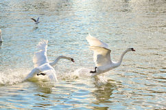 Running swans. The dominant swan chasing the the younger swan Stock Photos