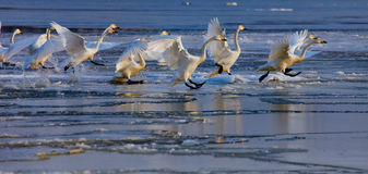 Running swans Royalty Free Stock Photos