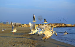 Running swans on beach Royalty Free Stock Images