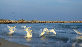 Running swans on sea Royalty Free Stock Photo