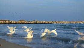 Running swans on sea Royalty Free Stock Photo