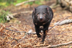 Running tasmanian devil Royalty Free Stock Photos