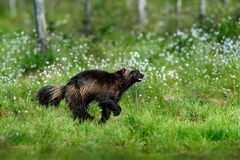 Running tenacious Wolverine in Finland tajga. Animal in the nature habitat royalty free stock photography