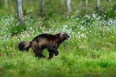 Running tenacious Wolverine in Finland tajga Royalty Free Stock Photography