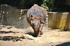 Running Terrible rhinoceros Royalty Free Stock Images