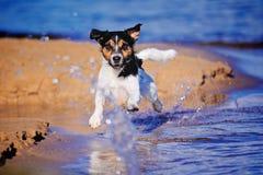 Running Terrier Stock Image