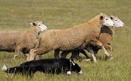 Free Running The Sheep Stock Image - 7657141