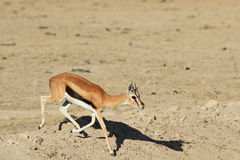 The running Thompson`s Gazelle Royalty Free Stock Images
