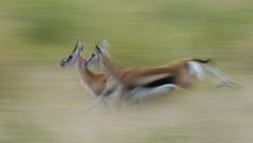 Running Thompson's Gazelles Royalty Free Stock Photography