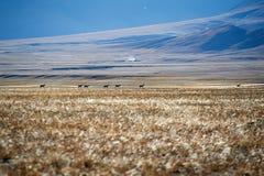 Running tibetan antelope Royalty Free Stock Photos