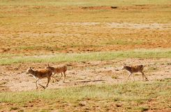 Running Tibetan antelopes Stock Photos