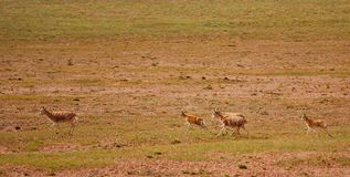 Running Tibetan antelopes Stock Photography