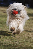 Running Tibetan terrier dog Royalty Free Stock Image