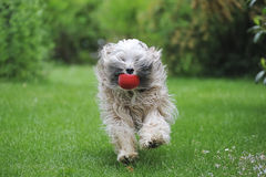 Running Tibetan terrier dog Stock Photos