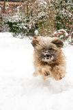 Running Tibetan Terrier Dog Stock Images