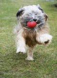 Running Tibetan Terrier Dog Royalty Free Stock Image