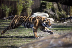 running tiger Royaltyfria Bilder