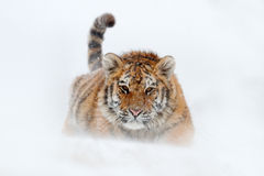 Running tiger with snowy face. Tiger in wild winter nature.  Amur tiger running in the snow. Action wildlife scene, danger animal. Stock Image