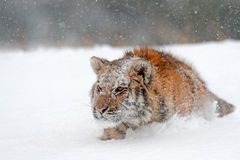 Running tiger with snowy face. Tiger in wild winter nature.  Amur tiger running in the snow. Action wildlife scene, danger animal. Stock Photos