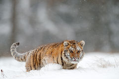 Running tiger with snowy face. Tiger in wild winter nature.  Amur tiger running in the snow. Action wildlife scene, danger animal. Stock Images