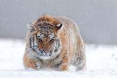 Running tiger with snowy face. Tiger in wild winter nature.  Amur tiger running in the snow. Action wildlife scene, danger animal. Royalty Free Stock Images