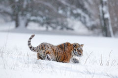 Running tiger with snowy face. Tiger in wild winter nature.  Amur tiger running in the snow. Action wildlife scene, danger animal. Royalty Free Stock Image