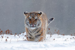 Running tiger with snowy face. Tiger in wild winter nature.  Amur tiger running in the snow. Action wildlife scene, danger animal. Stock Photography
