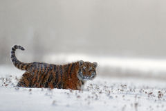 Running tiger with snowy face. Tiger in wild winter nature.  Amur tiger running in the snow. Action wildlife scene, danger animal. Stock Photo
