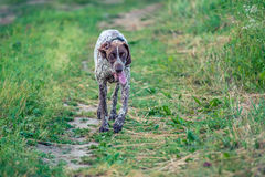 Running tired dog Royalty Free Stock Photography