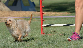 Running to finish line in dog agility Stock Photos