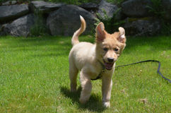Running Toller Puppy Dog with His Ears Flying Stock Images